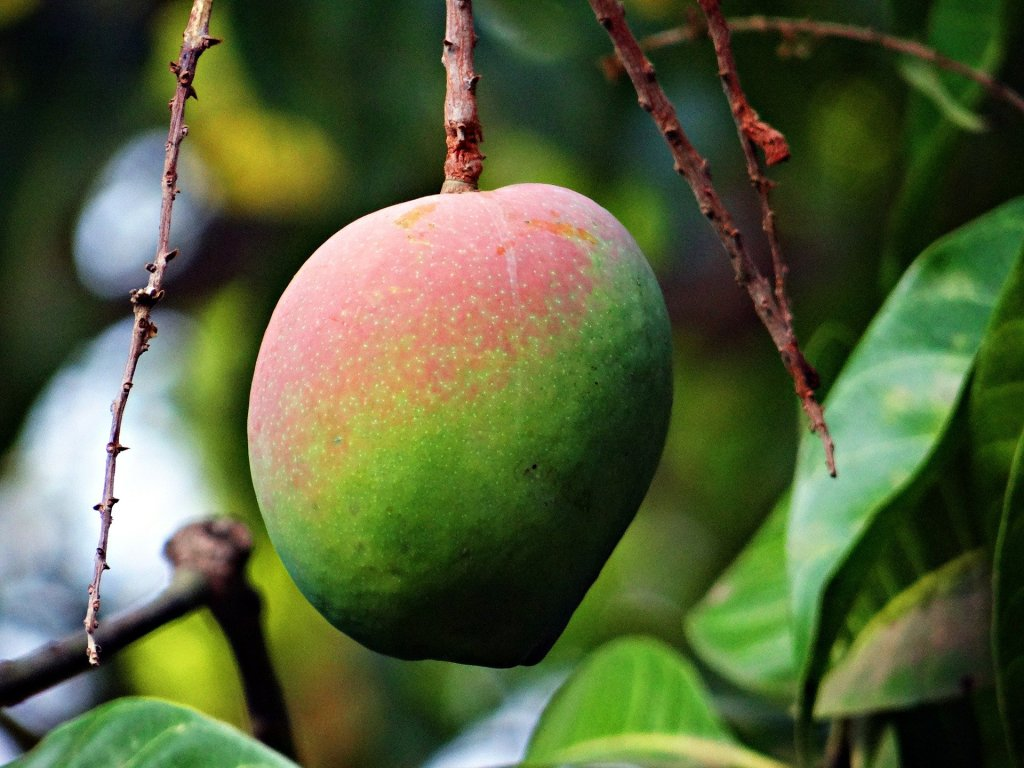 This image has an empty alt attribute; its file name is mango-321080_1920.jpg